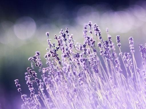 aromatherapy lavender