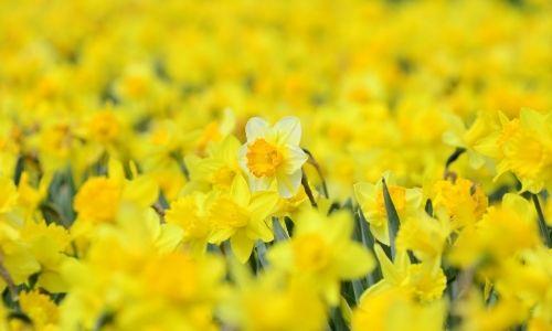 Daffodils open